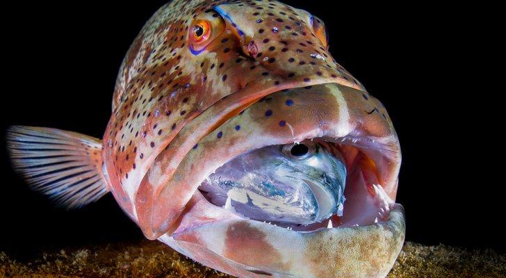 سمكة قرش تتحول إلى لقمة صغيرة بفم مخلوق غريب-بالفيديو
